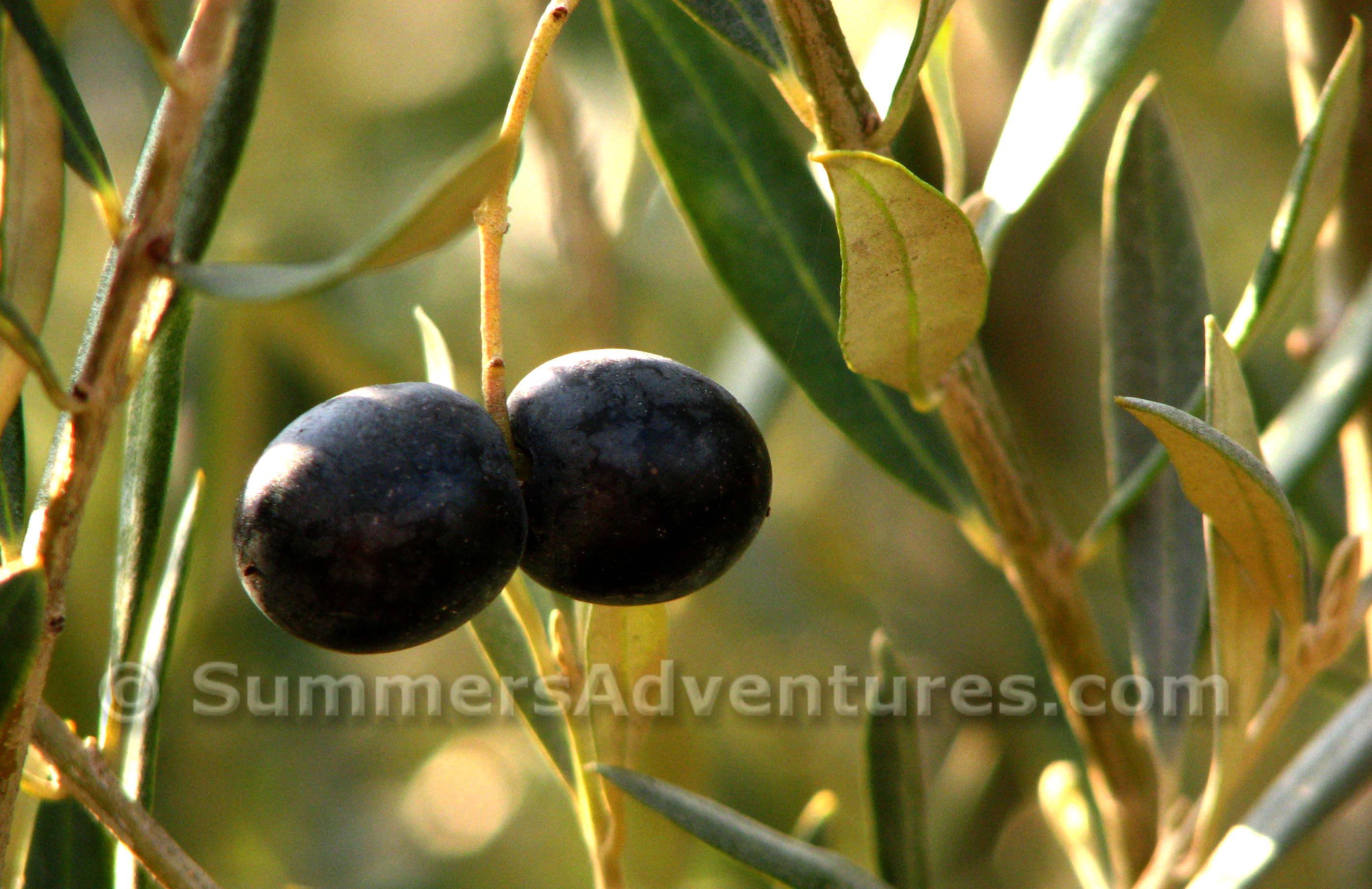 Olive Harvesting in Spain